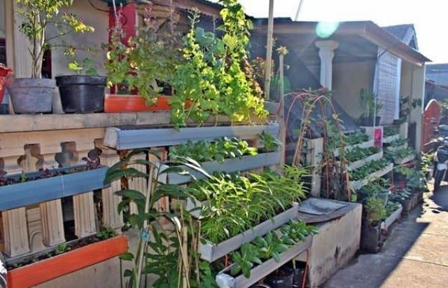 tanaman obat di pagar rumah